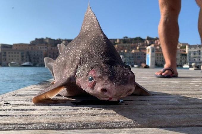 Bắt được cá mập mặt lợn ở Italy