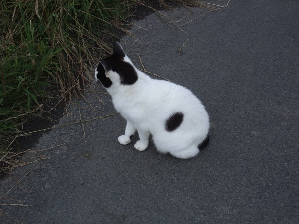 Manx Cat 1