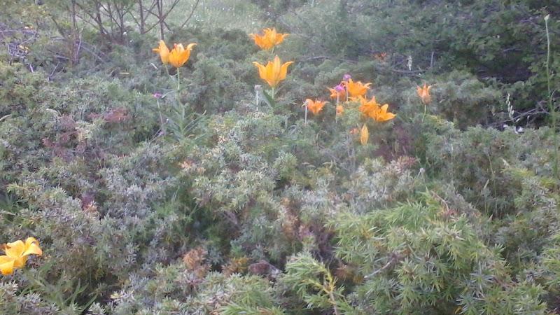 magnifique fleur de lys orange sauvage lilium bulbiferum stabi 2012 oasis alpinum. Black Bedroom Furniture Sets. Home Design Ideas