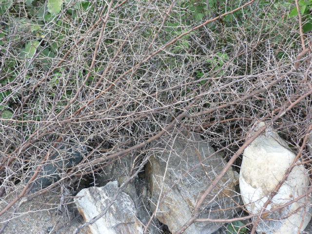 Barbelés naturels, branches de poivrier du Sichuan