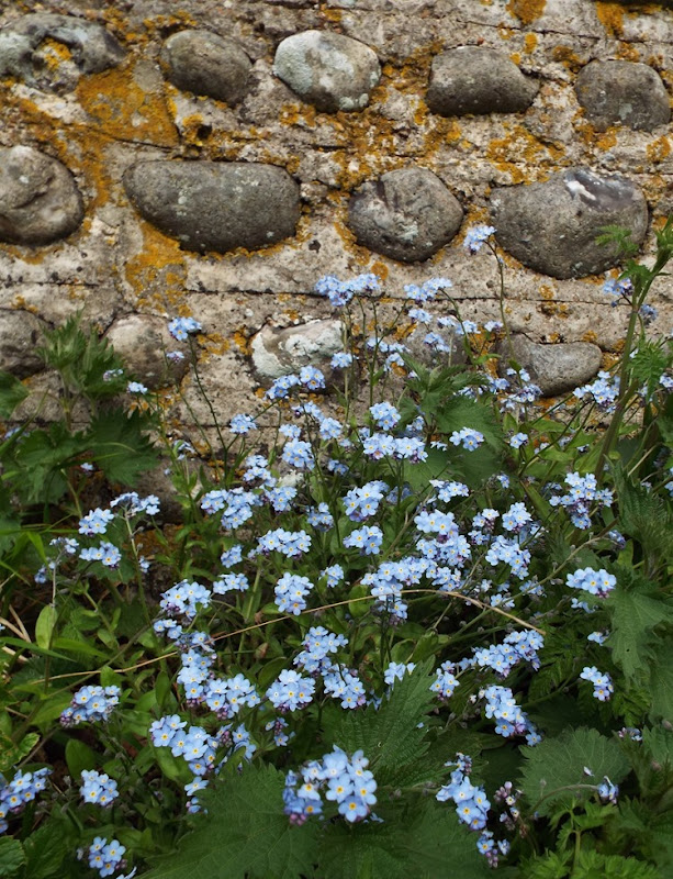 wildflower forget me nots