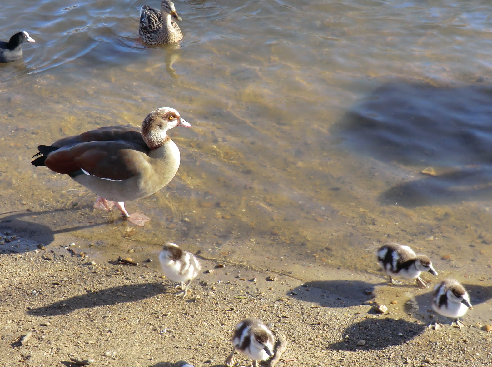 CIMG2488 An Egyptian Goose and four of her 12 goslings (in January!)