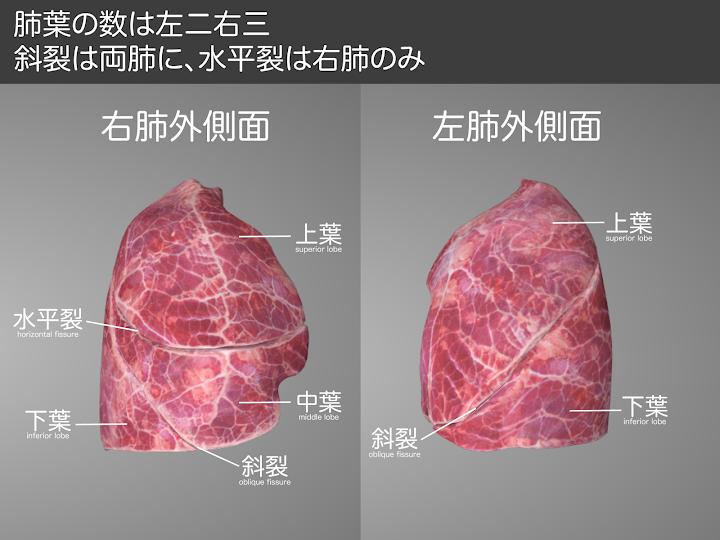 2014-16a-02:斜裂は両肺、水平裂は右肺のみ.png