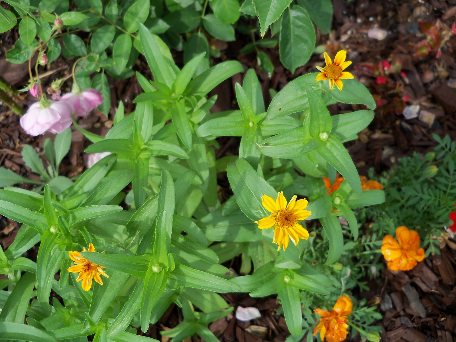 Gardening 2010, Part Two - 101_2163.JPG