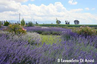 https://sites.google.com/site/illavandeto/Itinerario-turistico-e-naturalistico-Assisi-campi-di-lavanda-in-Italia-visite-guidate-giardini-botanici-delle-piante-aromatiche-e-delle-salvie-da-visitare-in-Italia