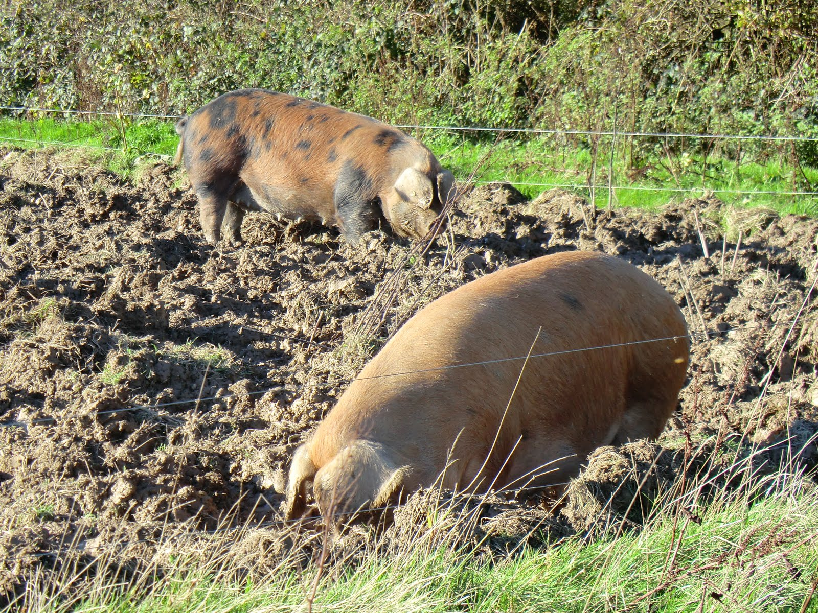CIMG9290 Contented pigs at Tablehurst Farm
