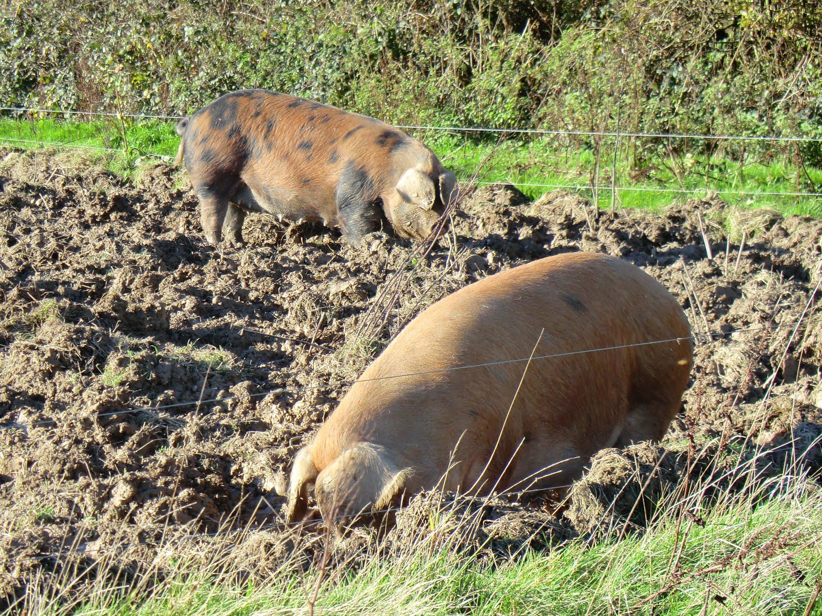 CIMG9290 Contented pigs at Tablehurst Farm