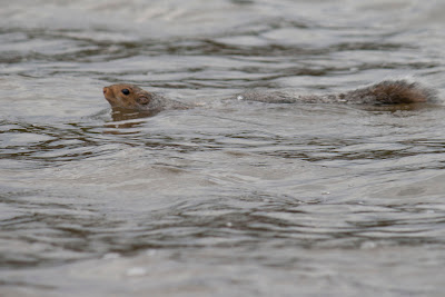 Squirrel crossing the river...big swim for a little guy. No one told him it about the footbridge.  RE-ENACTORS ON  BATTOE 'MOON' ON THE HACKENSACK RIVER. Photos by TOM HART/  FREELANCE PHOTOGRAPHER.