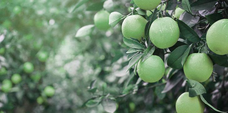 Oranges were originally green.