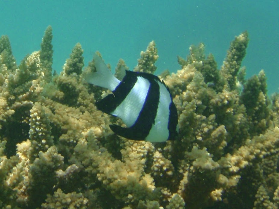 Dascyllus aruanus (Three-stripe Damselfish), Aitutaki.