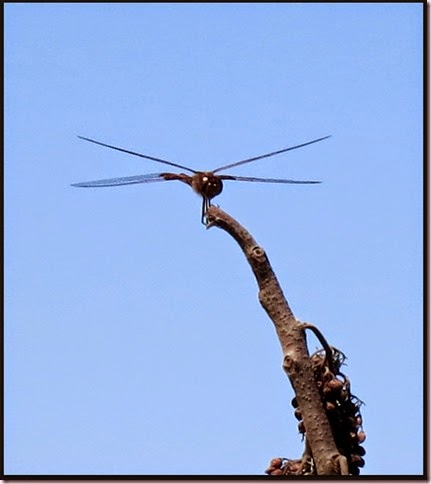 dragonfly1IMG_3616