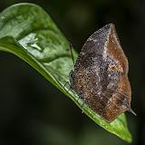 Memphis acidalia memphis (C. Felder & R. Felder, 1867) (?). Quebrada Chirajara, 1050 m (Cundinamarca, Colombie), 10 novembre 2015. Photo : B. Lalanne-Cassou