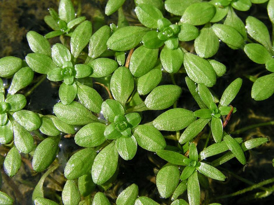 Болотник весенний (Callitriche palustris)