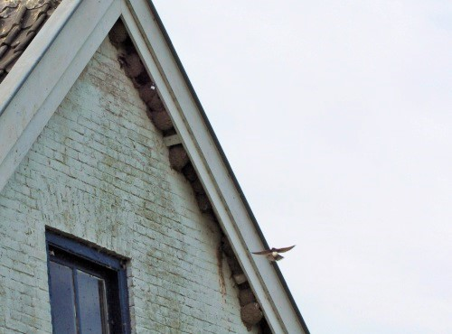 Brabantse Biesbosch 31-05-2015 - zwaluwen.jpg