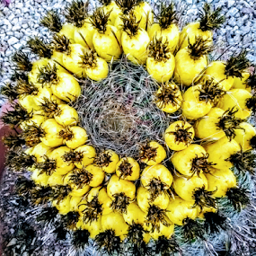 Flowering The Lands by Carlo McCoy - Nature Up Close Other plants ( bricks, flowers, arizona, fruit, yellow, healing fruits, outdoor, natures reef, cactus, edible, desert, nature photography, landscape, natures canvas,  )