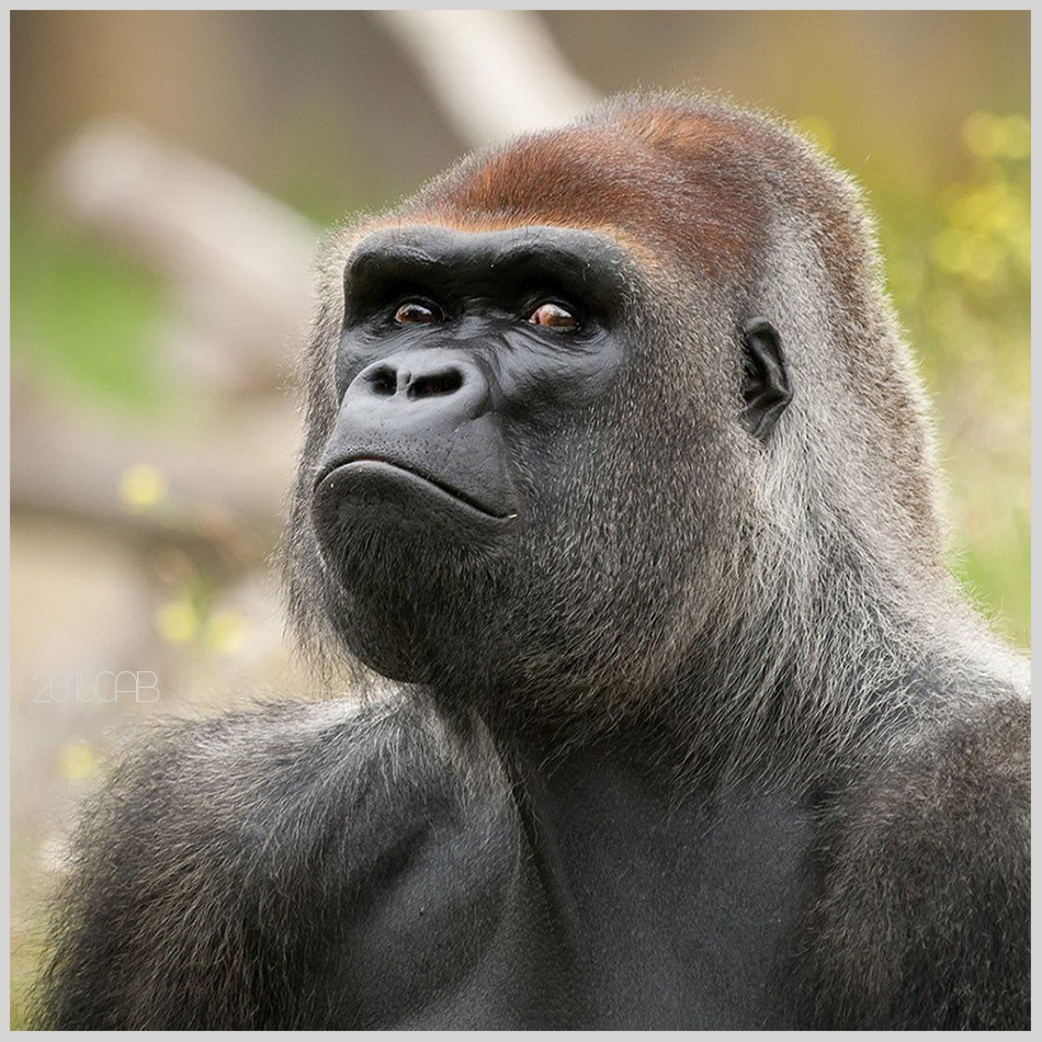 Testclod juillet 2015 - Dessin d un gorille ...
