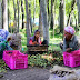 J&K_Farmers spread famous Kashmiri Walnuts to dry as harvesting of the crop begins in various parts of the valley