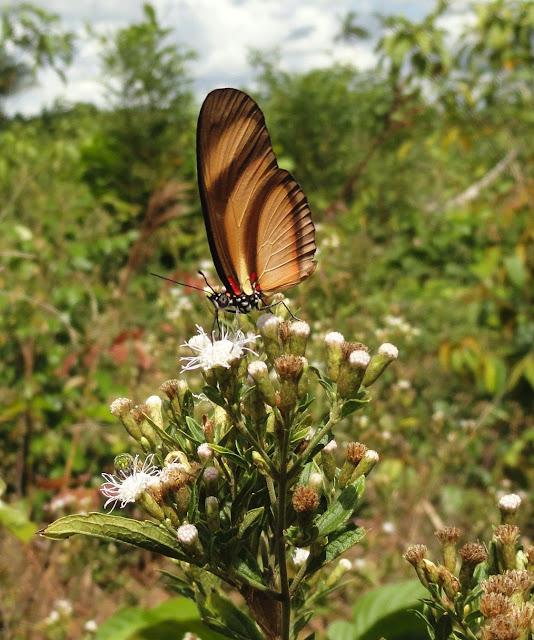 Eueides lybia (FABRICIUS, 1775). Colider (Mato Grosso, Brésil), mai 2011. Photo : Cidinha Rissi