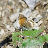 Coenonympha gardetta (DE PRUNNER, 1798). Fex Curtins, 2100 m (Engadine, Grisons, CH), 11 juillet 2013. Photo : J.-M. Gayman