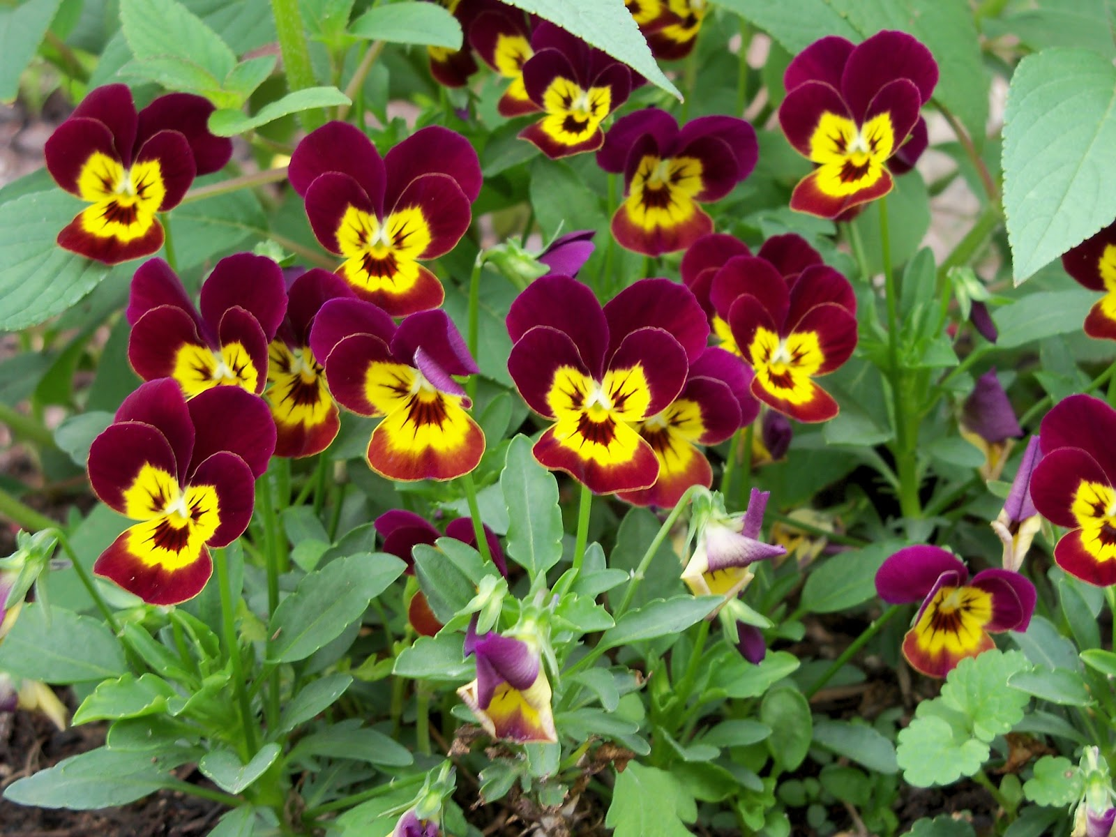 Gardening 2011 - 100_7414.JPG