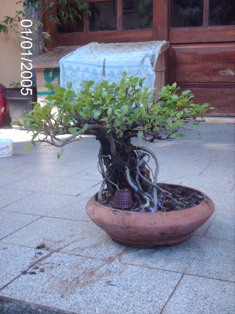 Ficus Microcarpa do Roberto Teixeira... PICT1653