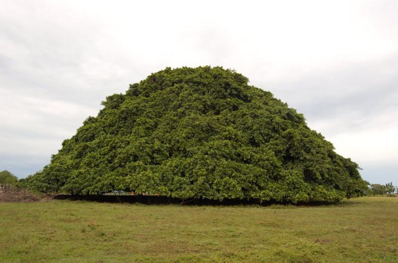Sebaxtian el caucho guacar for Arboles para sombra de poca raiz