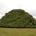 El árbol de Guacarí