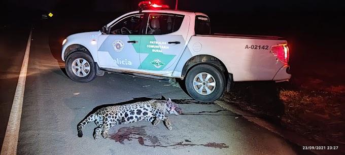 Onça pintada morre atropelada por caminhão