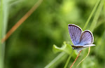Engblåfugl, semiargus.jpg