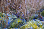 Copyright © Wim Bovens www.naturepics.be