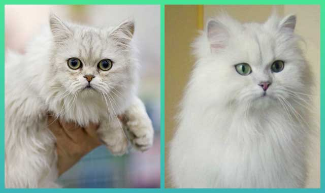Asian Semi-longhair Cat Breed InformationAsian Semi-longhair Cat Breed Information