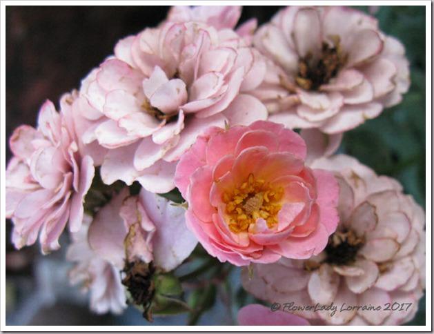 04-03-new-rose4