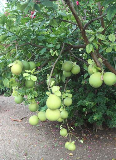Citrus sp. - maxima ou paradisi ? - pamplemousse IMG_6979
