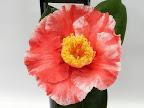 淡桃色地 濃紅色大小縦絞り 太めの白覆輪 牡丹咲き 筒〜割しべ