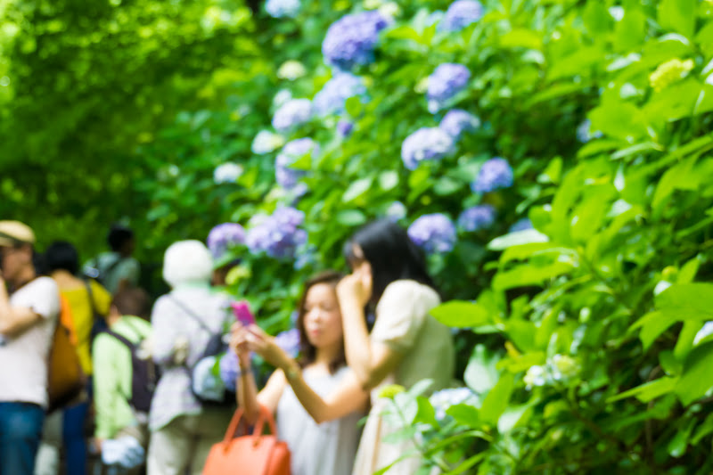 Hydrangea flowers at Takahatafudoson Kongoji Temple2