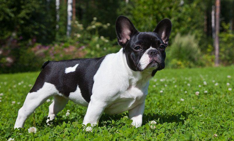 mua chó bull pháp giá bao nhiêu? giá chó bull pháp ở Việt Nam