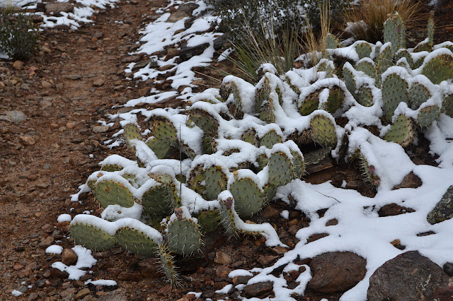 cactus under snow