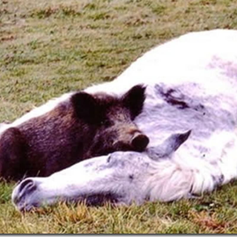 El caballo y el cerdo, humor