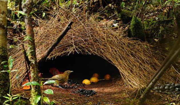 Burung-Namdur-Arsitek-yang-Pintar-dan-Kaya-Raya_kidnesiathumb630x368