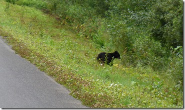 Off the bears go, Mama Bear takes on car to protect two cubs, Cassiar Highway