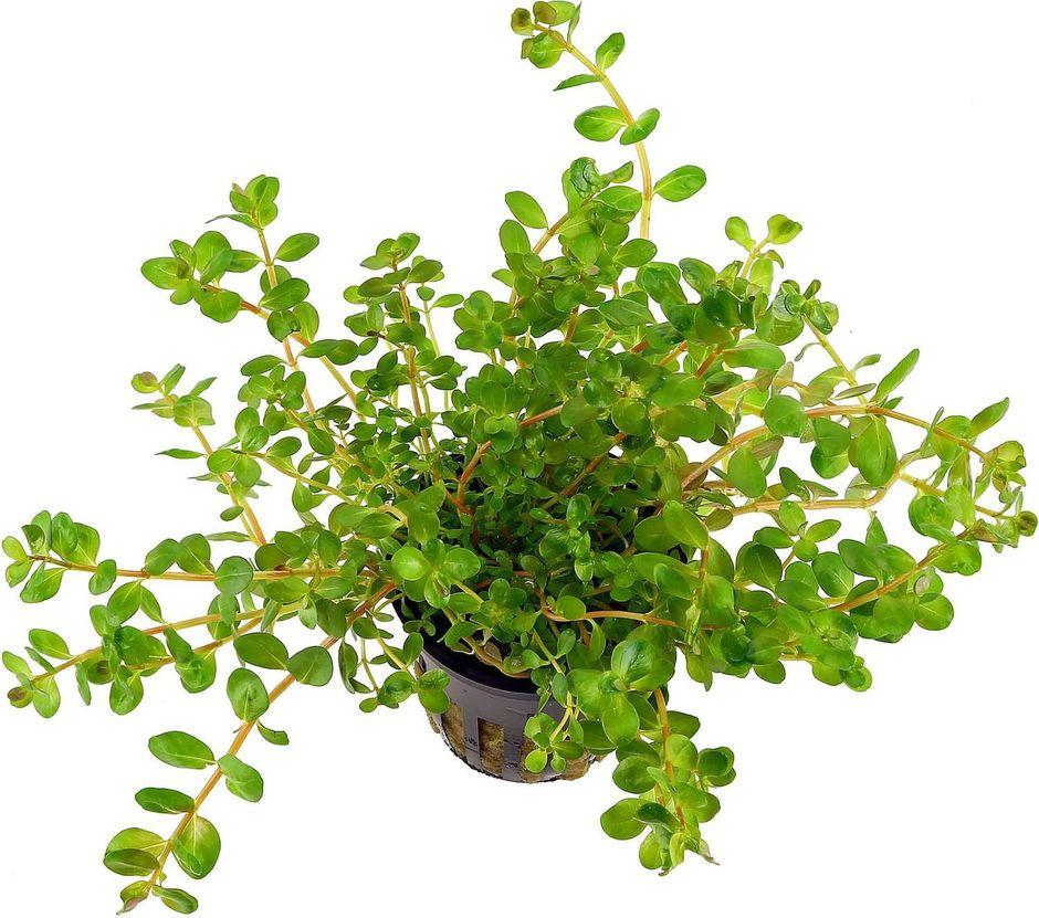 Ротала круглолистная (Rotala rotundifolia)