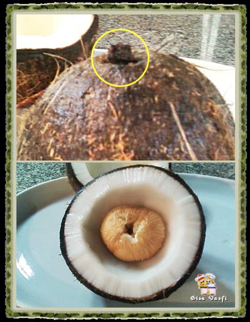 Coco germinado