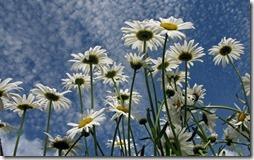 margaritas flores (15)
