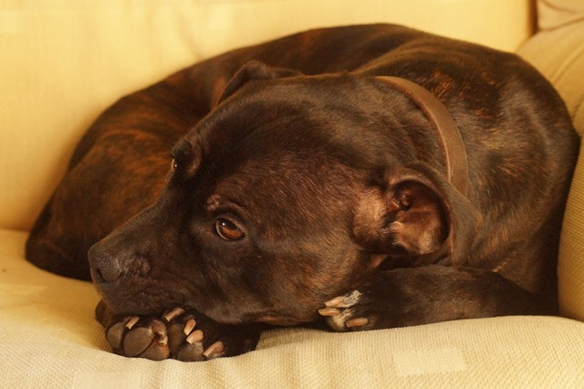 RSPCA #RehomingAngels campaign Lincoln staffordshire bull terrier rescue staffie