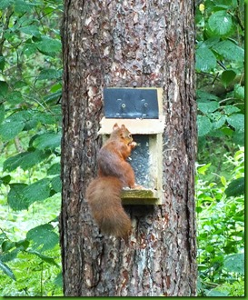 red squirrel Newborough forest August 2017 (1)