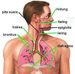 anatomi tubuh manusia http://asalasah.blogspot.com/