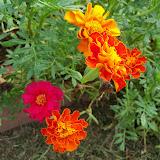 Gardening 2010, Part Three - 101_5231.JPG