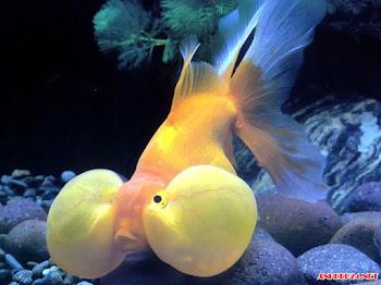 Ngắm hình ảnh cá cảnh đẹp nhất hình dạng độc đáo màu sắc ấn tượng đáng yêu vô cùng