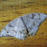 Uraniidae : Epipleminae : Syngria sp. : S. druidaria GUENÉE, 1852. Mount Totumas, 1900 m (Chiriquí, Panamá), 20 octobre 2014. Photo : J.-M. Gayman