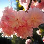 Cvetenje Sakure Društva Touhou - Hinata 2015